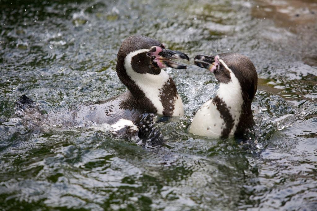 Besonders viel Erfrischung brauchen die Humboldtpinguine. Foto: Weltvogelpark Walsrode