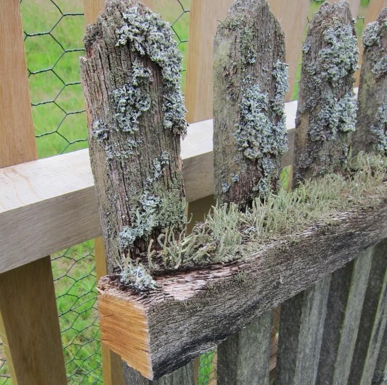 Alter und neuer Holzzaun: Der alte Holzzaun ist 30 Jahre alt - den Holzkern haben die Flechten nicht beschädigt.