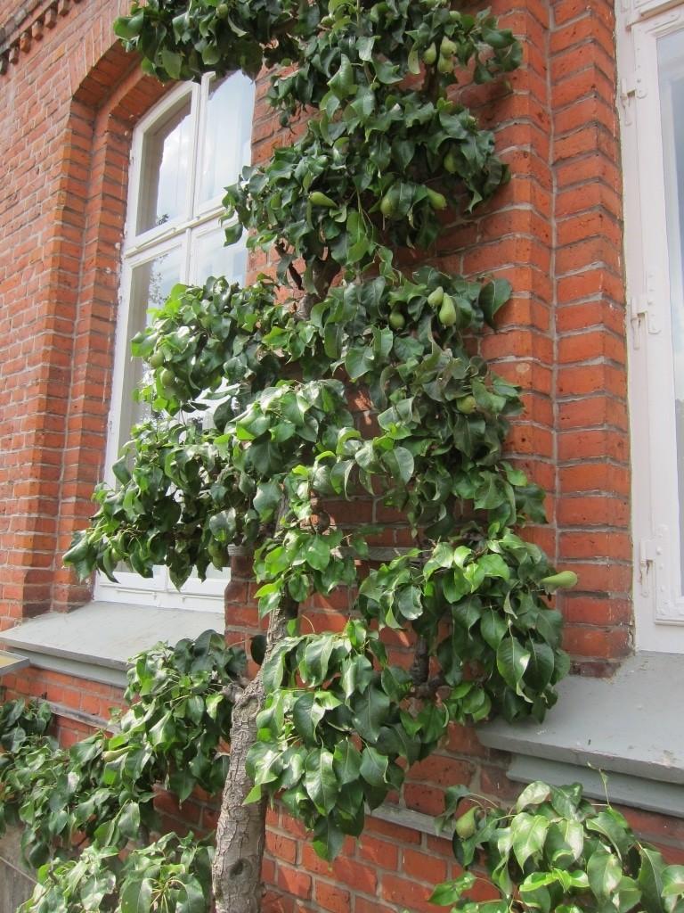 Am Hausgiebel wächst Spalierobst, in diesem Falle Birnen. Die Fassadenbegrünung bereichert Garten, Natur und Klima.