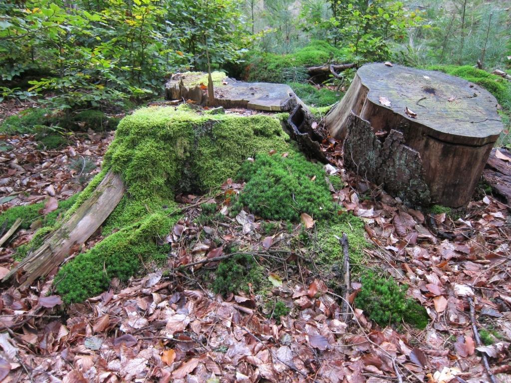 Überreste der Holzernte 2010: Bemooste Baumstubben