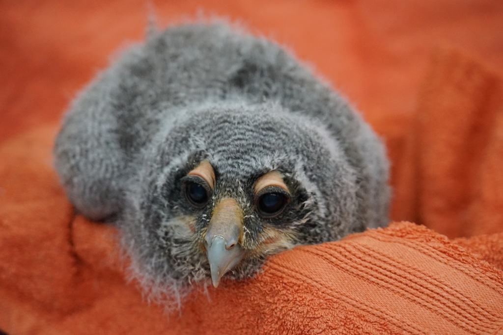 Blassuhuküken Foto: Weltvogelpark Walsrode