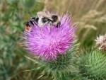 Gemeine Kratzdistel (Cirsium vulgare) mit Bienen
