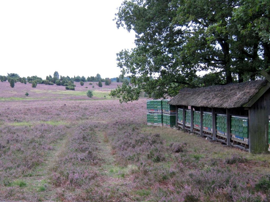 Honigernte in der blühenden Heide - in Niederhaverbeck in der Lüneburger Heide