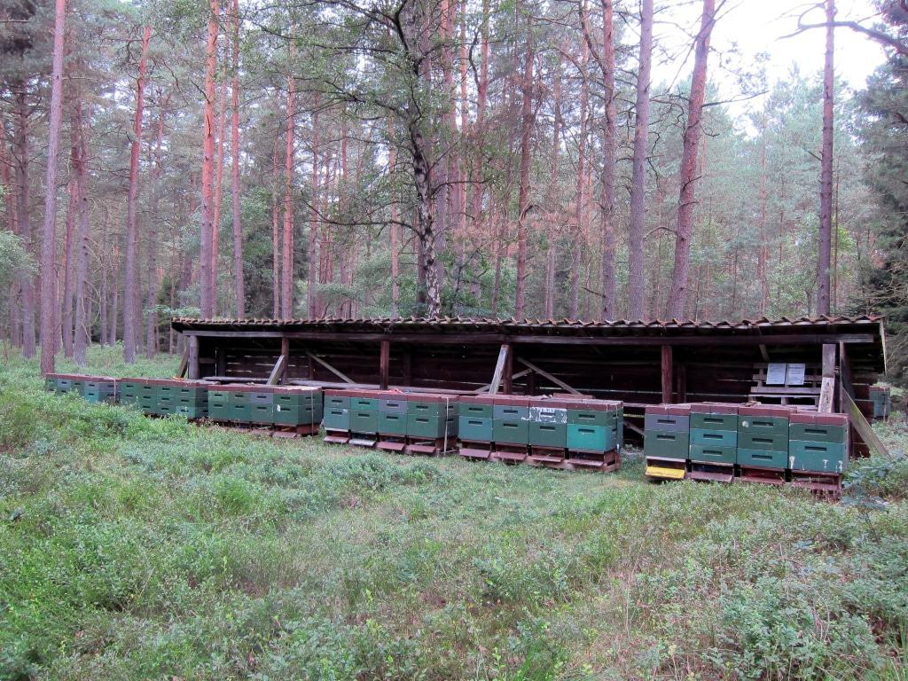 Bienenzaun mit Bienenstöcken im Kieferwald in Flugnähe zu großen Heideflächen