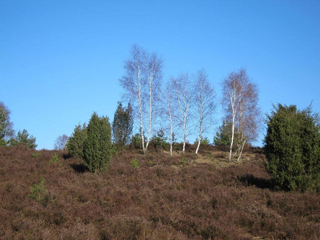 Birkengruppe und Wacholderbüsche vor strahlend blauem Winterhimmel