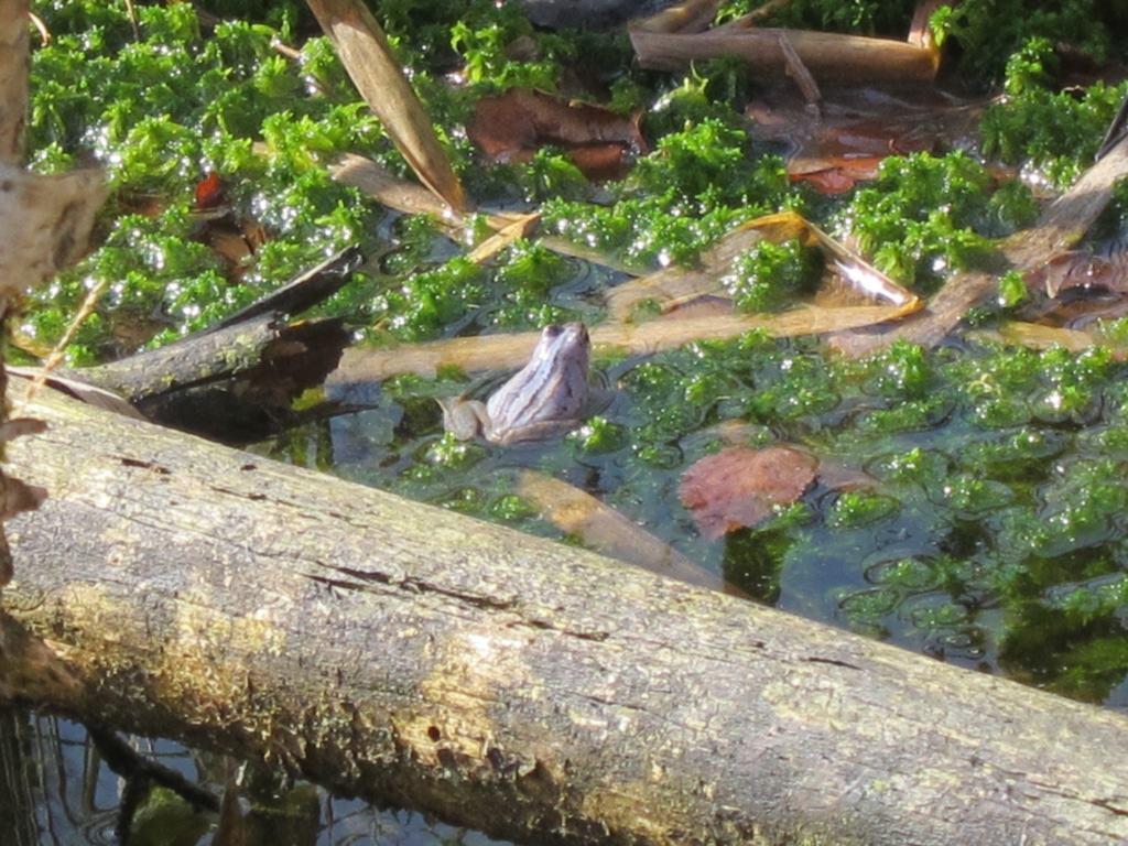 Blauer verfärbter Moorfrosch zur Paarungszeit im Pietzmoor, Schneverdingen, Lüneburger Heide