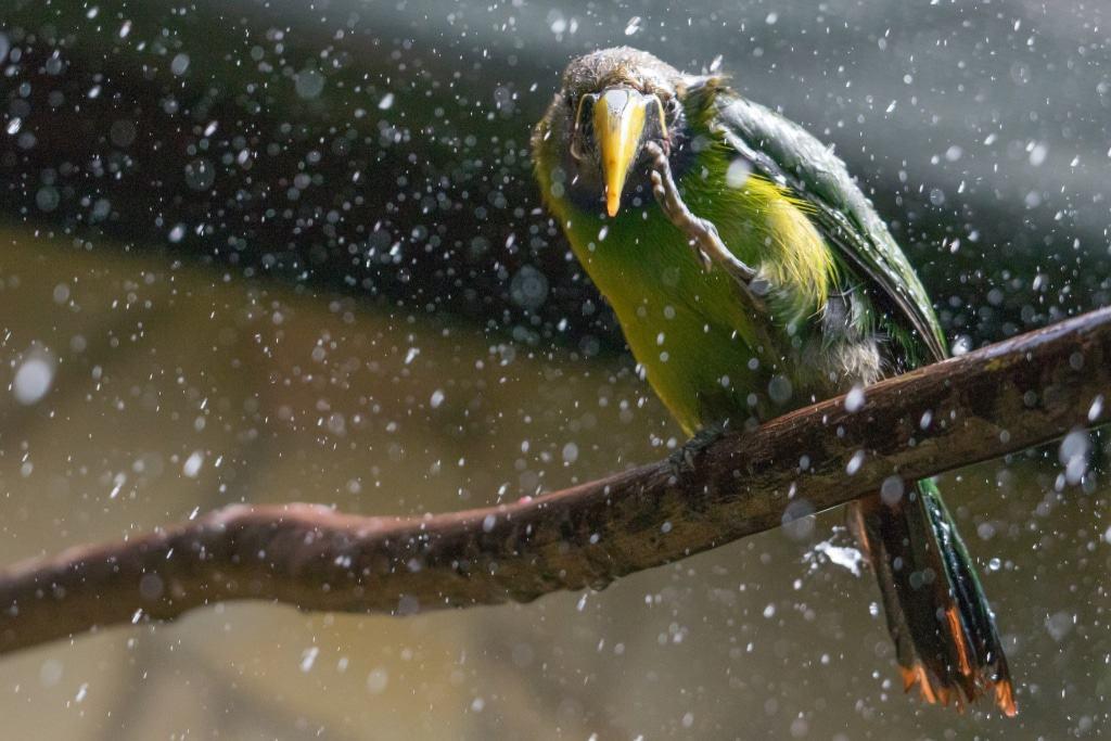 Der Blaukehlarassari genießt die erfrischende Regendusche. Foto: Weltvogelpark Walsrode