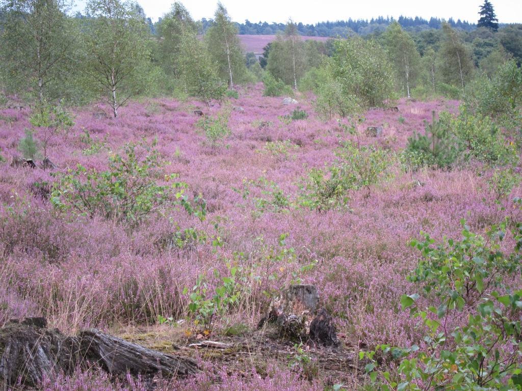 Heideblüte 2014 in der der Lüneburger Heide - Heidetaler Heide bei Niederhaverbeck
