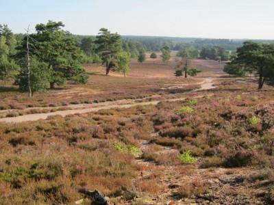 Zu Anfang der Heideblüte in der Schwindebecker Heide