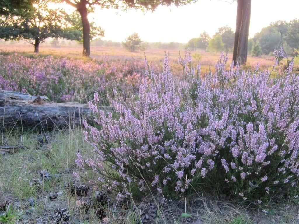 Schneverdingen Osterheide 22.08.2015 Blühende Besenheide im Abendsonnenschein