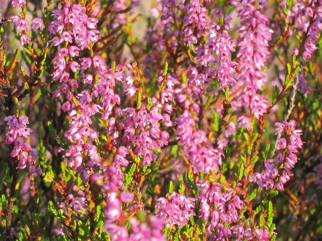 Heideblüte in der Lüneburger Heide - blühende Besenheide (Calluna vulgaris)