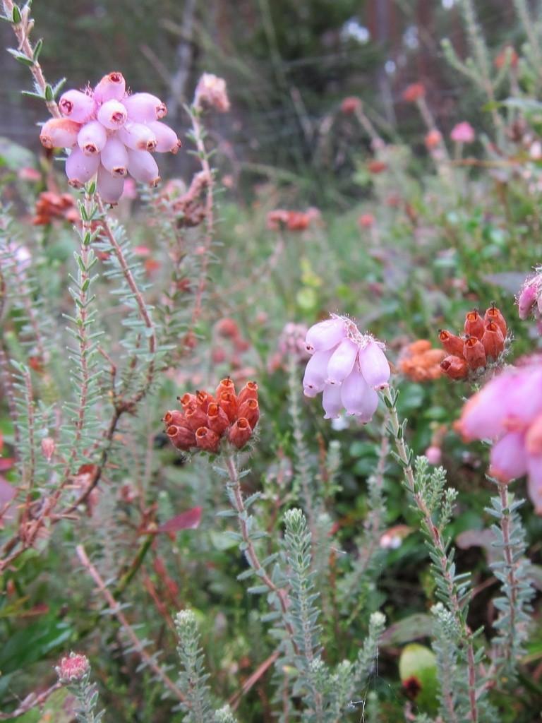 An einigen Stellen blüht auch noch Glockenheide (Erica tetralix).