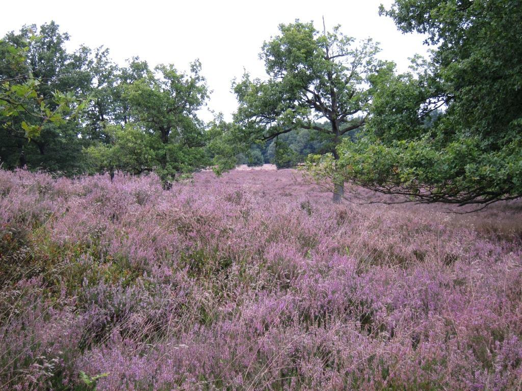 Heidefläche am Wilseder Berg mit blühender Heide 2014