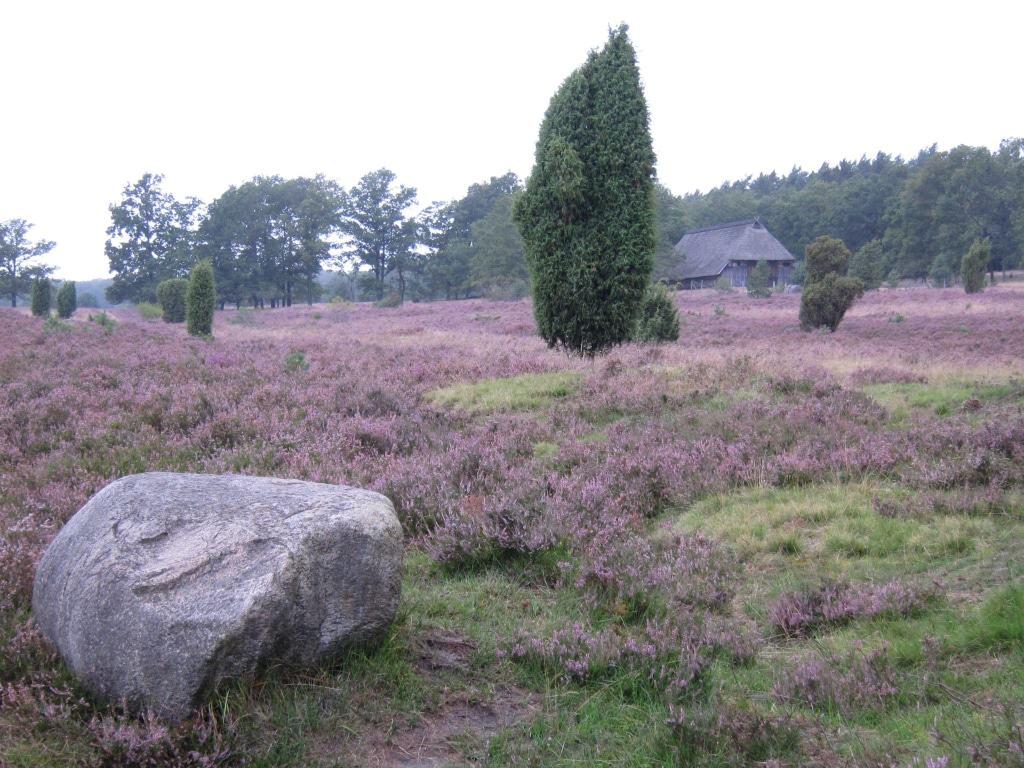 Großer Schafstall in der blühenden Heide bei Bispingen-Niederhaverbeck