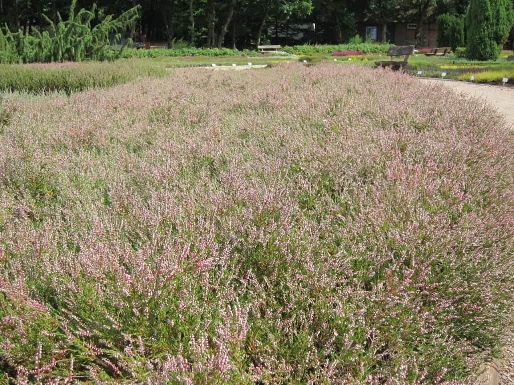 Blühendes Heidekraut im Heidegarten Schneverdingen.