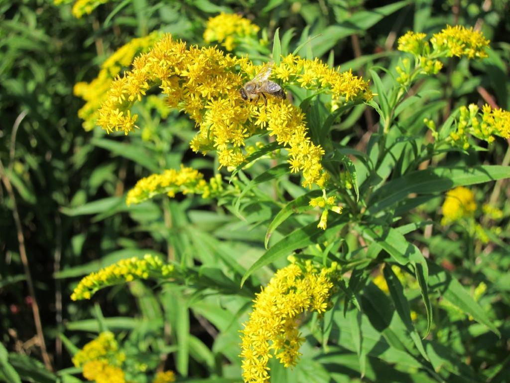 In voller Blüte am sonnigen Standtort: Die Kanadische Goldrute, ein Favorit der Insekten