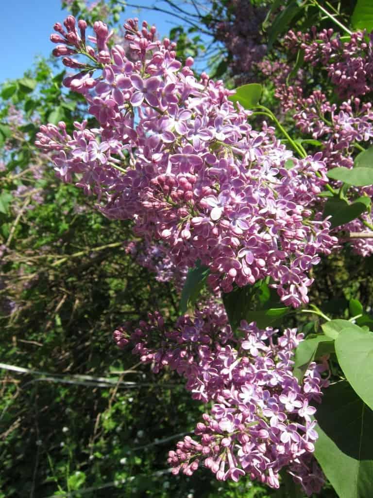 Blühender Flieder im Wendland