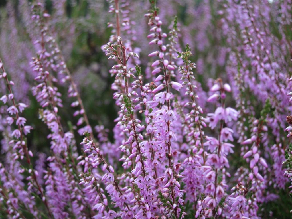 Heidekraut (Calluna vulgaris) in voller Blüte
