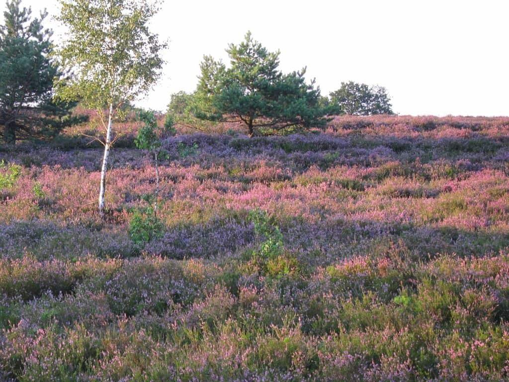 Lüneburger Heide Heidekraut im Abendsonnenschein 22.08.2015