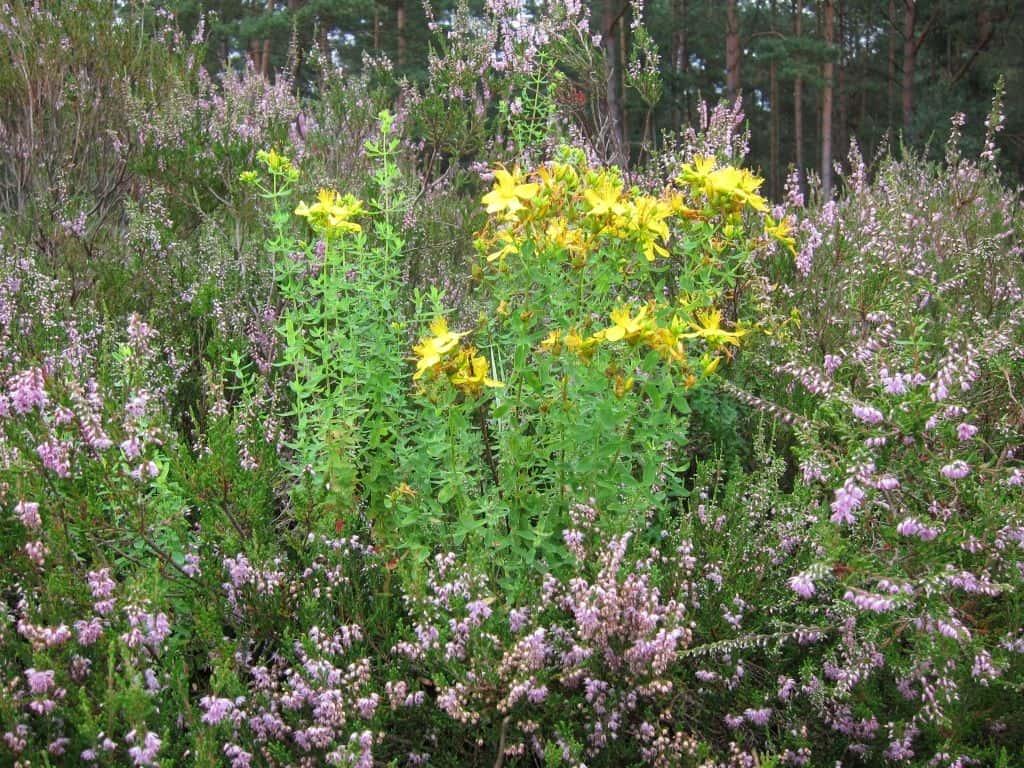 Johanniskraut (Hypericum) und Besenheide (Calluna) blühen in der Schwindebecker Heide 16.08.2015