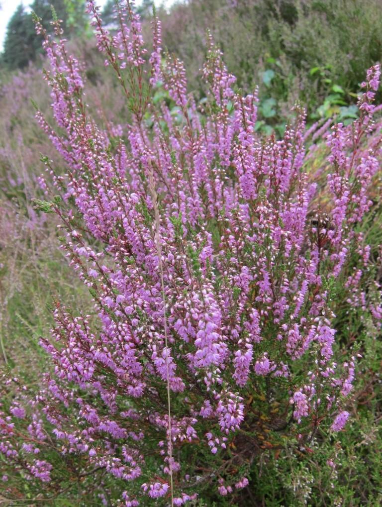 Blühender Heidestrauch (Calluna vulgaris)
