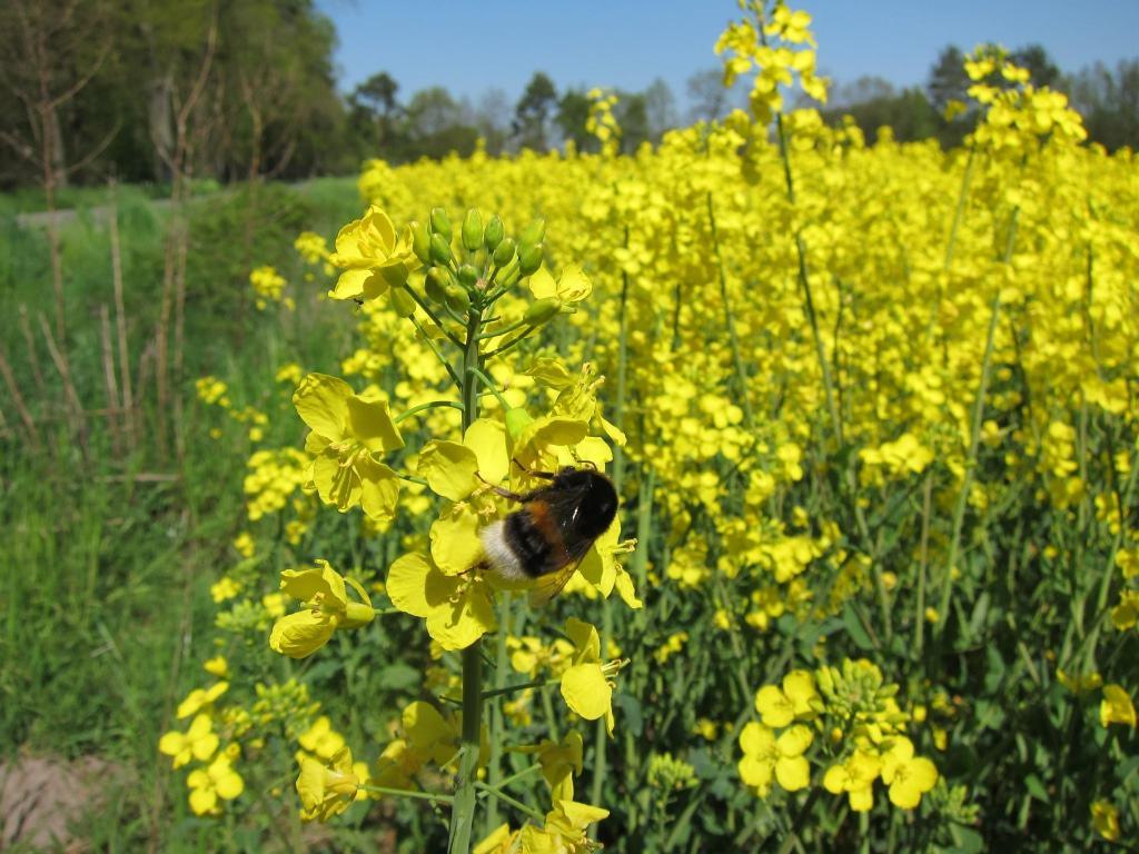 Leuchtend gelb blühendes Rapsfeld