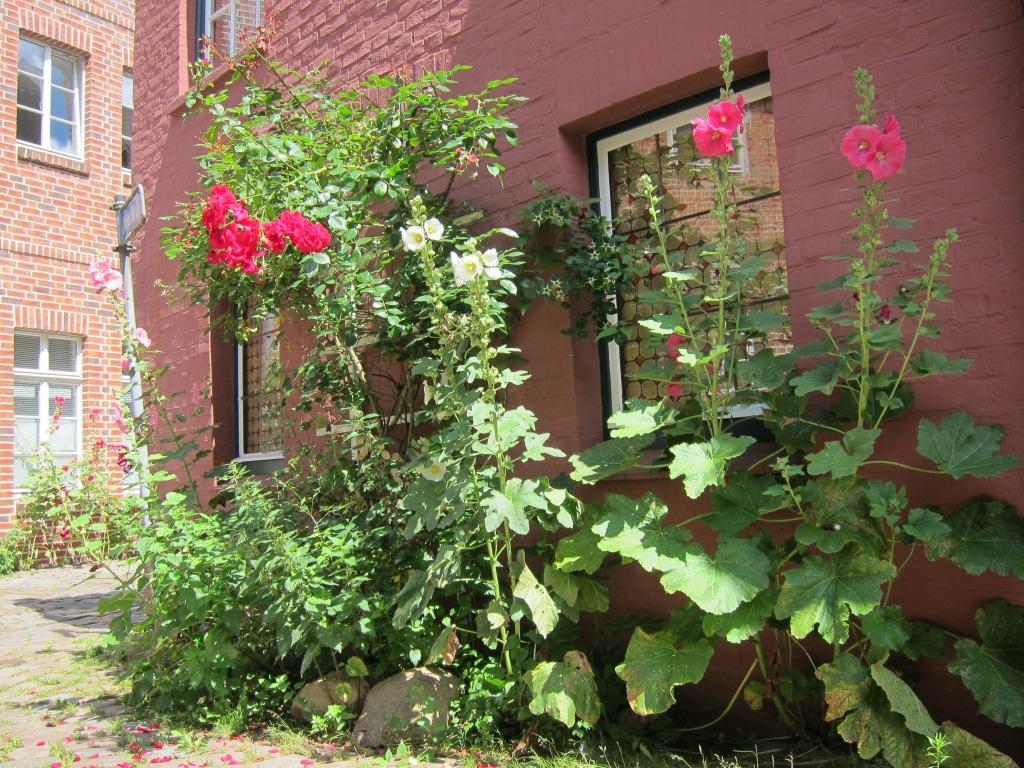 Stockrosen und rote Rosen in der Lüneburger Altstadt