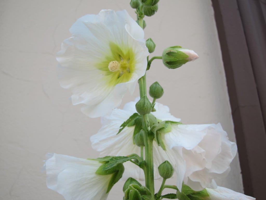 Großaufnahme - weiße Stockrosenblüten