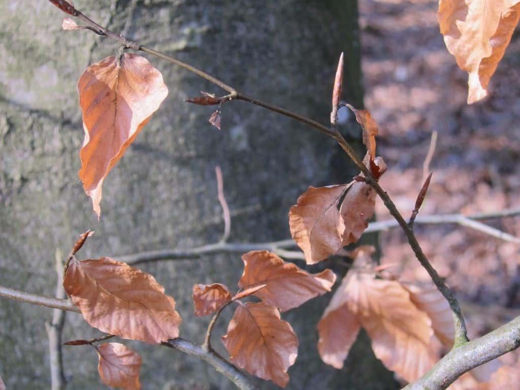 Zweig mit welkem Buchenlaub vor Buchenstamm an einem sonnigen Wintertag