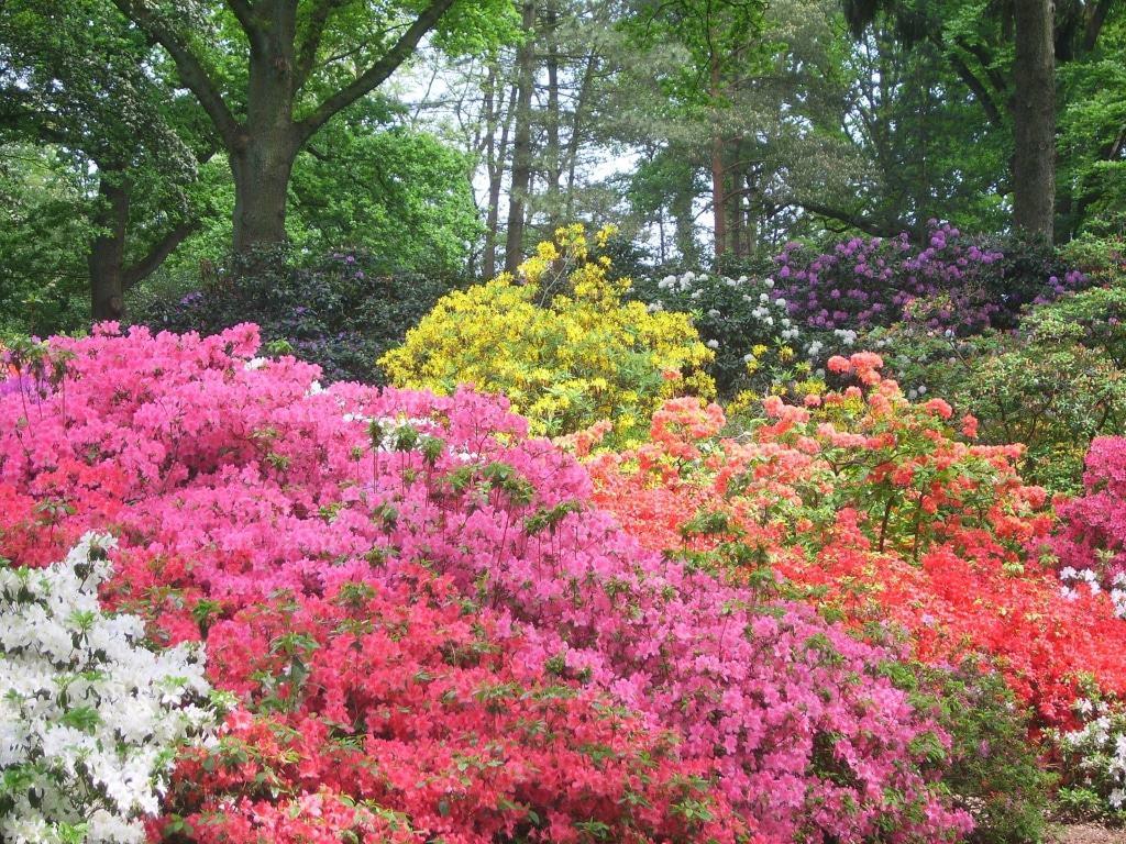 Zur Hauptblütezeit verwandelt sich der Bremer Rhododendronpark in ein Farbenmeer. Copyright: Ingrid Krause / BTZ Bremer Touristik-Zentrale