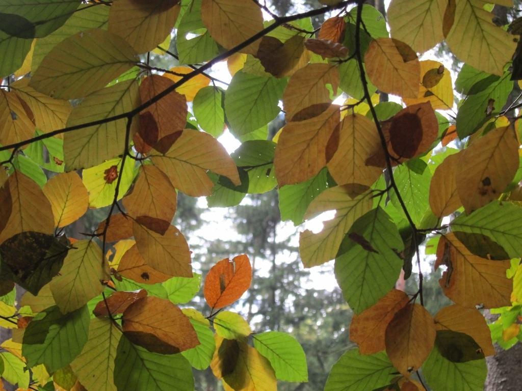 Im Lüßwald im Kreis Celle: Laubverfärbung bei Buchenblättern