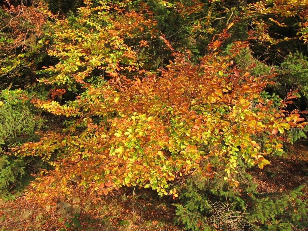 Lüßwald Landkreis Celle: Laubverfärbung Buchenwald im Lüßwald