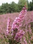 Besenheide (Calluna vulgaris) in voller Blüte