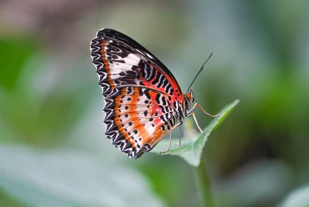Cethosia cyane, Schmetterling aus der Familie der Edelfalter, Foto: Weltvogelpark Walsrode