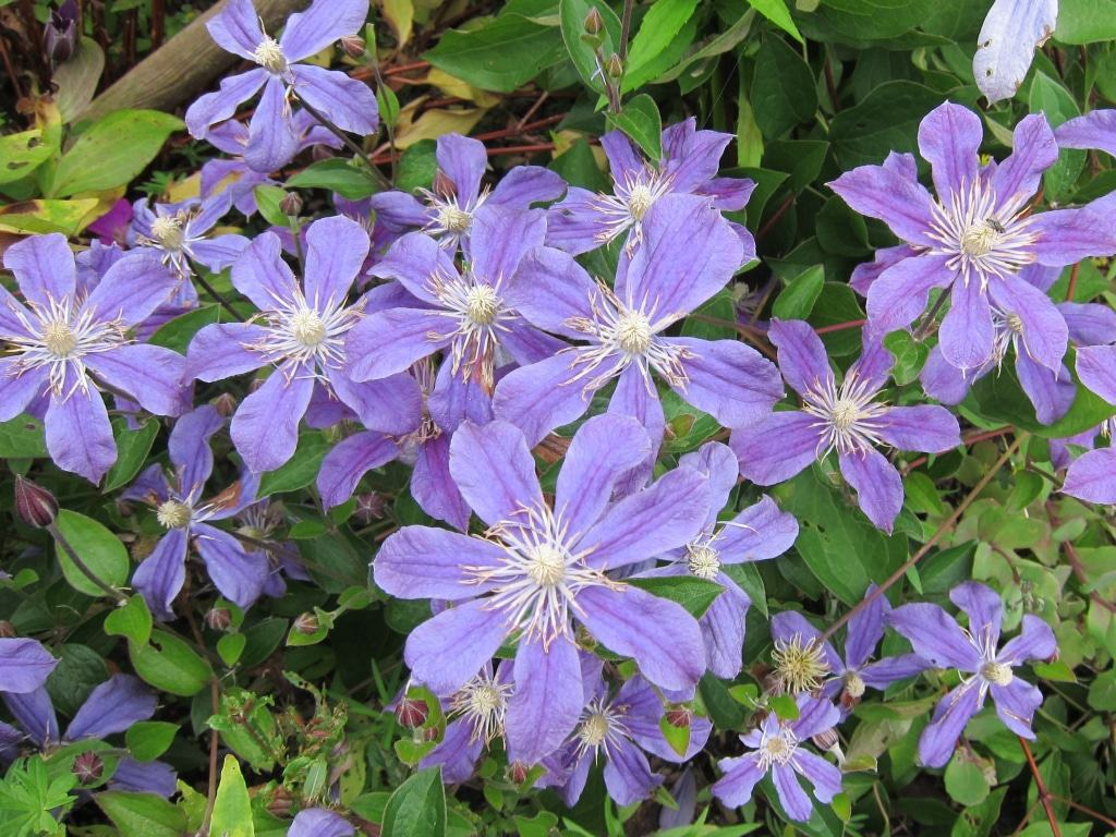 Blau-lilafarbene Clematisblüten