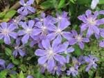Blau-lila-farbene Clematisblüten
