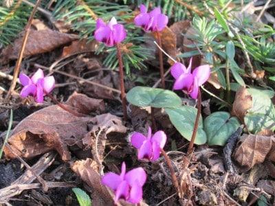 Blühendes Frühlingsalpenveilchen