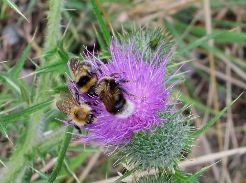 Pietzmoor in Schneverdingen: Blühende Distel wird von Insekten besucht