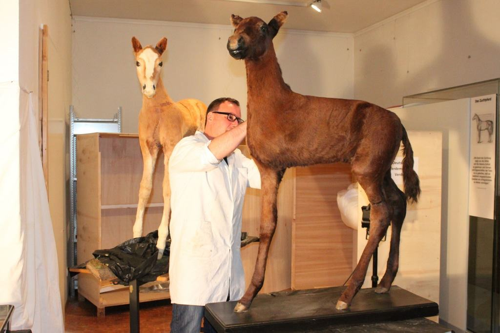 Tierpräparator Christoph Dose bei der Restaurierung der beiden Fohlenpräparate im DPM. Foto: DPM