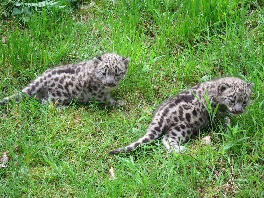 Mutig erkunden die Schneeleoparden-Babys  das Gras.