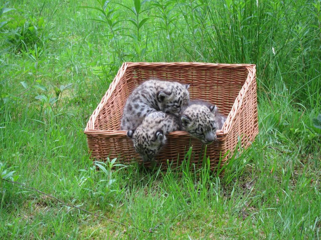 Die Schneeleoparden-Weibchen bleiben bis etwa zum Alter von 18 Monaten im Wildpark Lüneburger Heide.