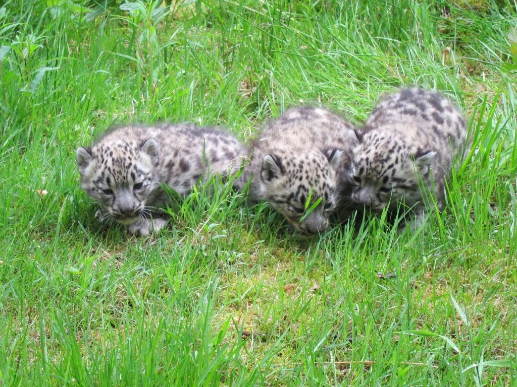 Die letzten Schneeleoparden-Jungen wurden 2015 im Wildpark geboren, dies ist die sechste Geburt im Wildpark seit Ende der 1990er Jahre.