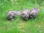 Schneeleoparden-Babys im Wildpark Lüneburger Heide wurden heute der Öffentlichkeit vorgestellt!