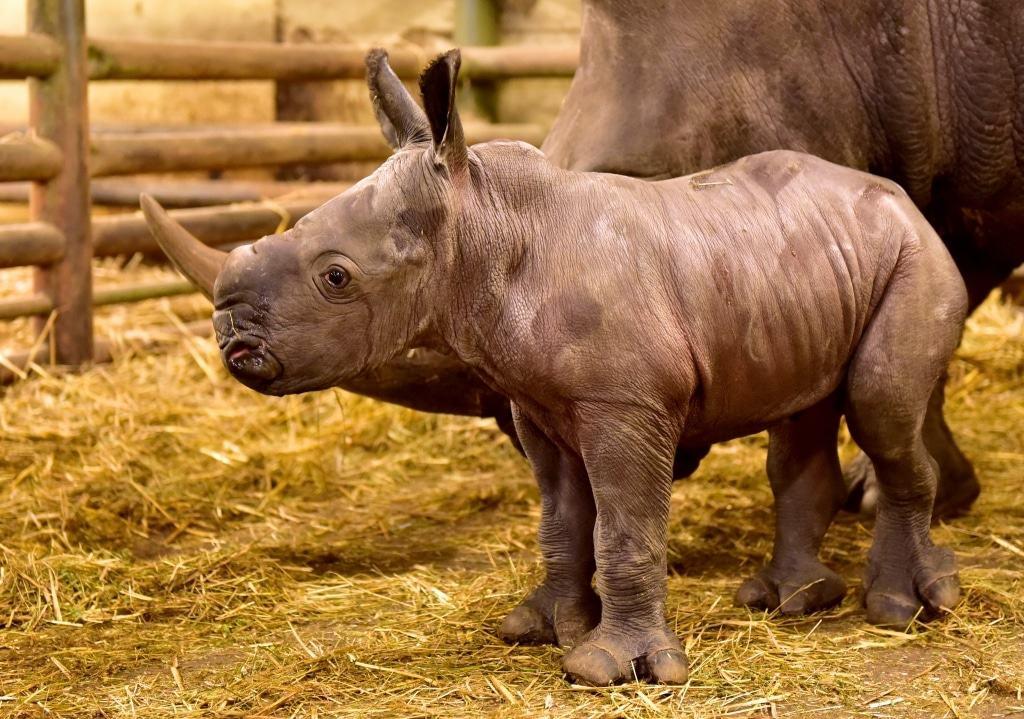 Drei Tage ist der kleiine Breitmaulnashornbulle auf diesem Foto alt. Foto: Serengeti-Park Hodenhagen