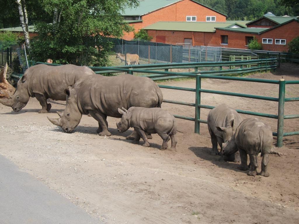 Vater der drei Nashornbabys ist der 23-jährige Zuchtbulle Martin.
