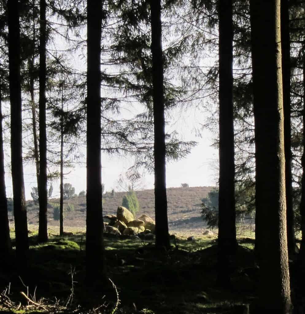 Durch die Nadelbäume kann man die Heideflächen sehen.