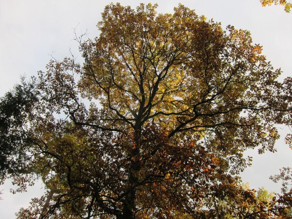 Naturpark Südheide/Lüßwald: Eiche mit Herbstlaub vor hellem Himmel bei Sonnenschein