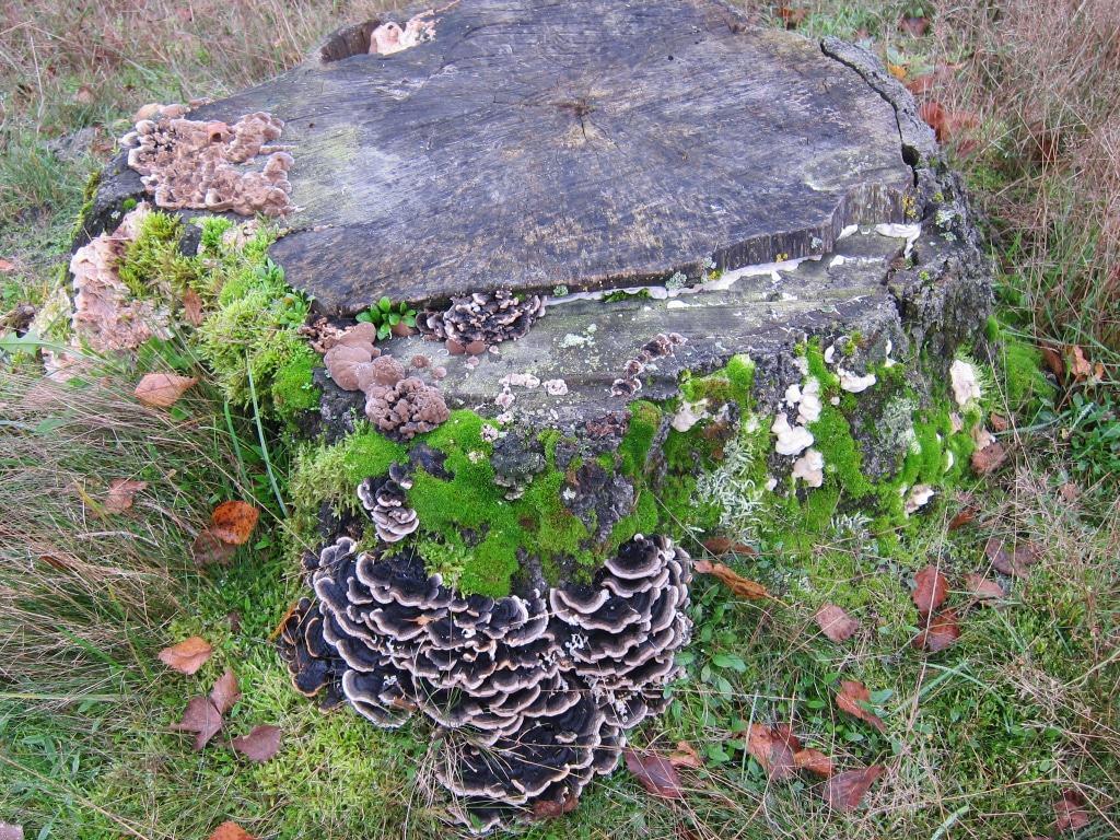 Ein Eichenstumpf bietet einen Lebensraum für verschiedene Baumpilzarten und Moose