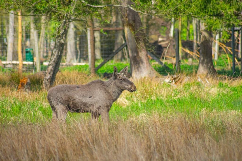 Für den jungen Elchbullen wird noch ein neuer Name gesucht.