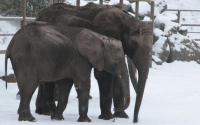 Die Elefantenjungtiere erforschen den Schnee mit ihren Rüsseln. Foto: Serengeti Park